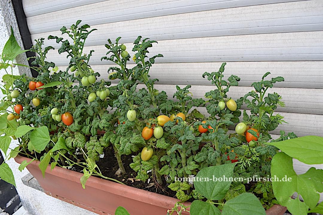 balkon star tomate curley kaley gr nkohltomate cherrytomate tomaten bohnen. Black Bedroom Furniture Sets. Home Design Ideas