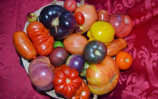 dicke tomaten archive samen rarit ten versand tomaten. Black Bedroom Furniture Sets. Home Design Ideas